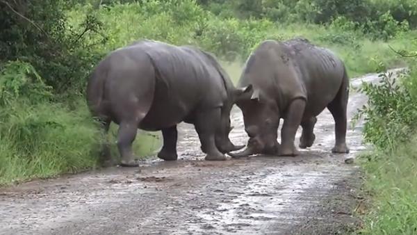 Epická bitva dvou nosorožců o území - Sputnik Česká republika