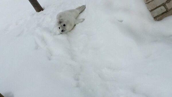 Tulení mládě se objevil přímo u domu obyvatele ostrovu Gogland - Sputnik Česká republika
