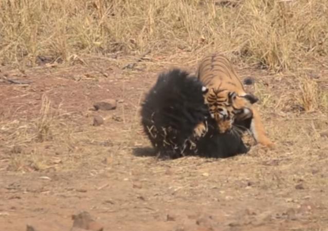 Nezahrávej si s mámou: bitva medvědice s tygrem se dostala na VIDEO