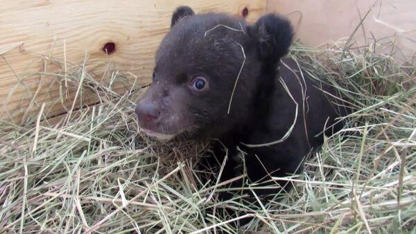 Ve Vladivostoku veterináři dostávají z nejhoršího himálajské medvídě - Sputnik Česká republika