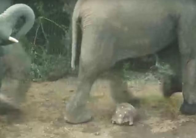 Někomu se daří! Želva se octnula pod nohama slonů a přežila to! (VIDEO)