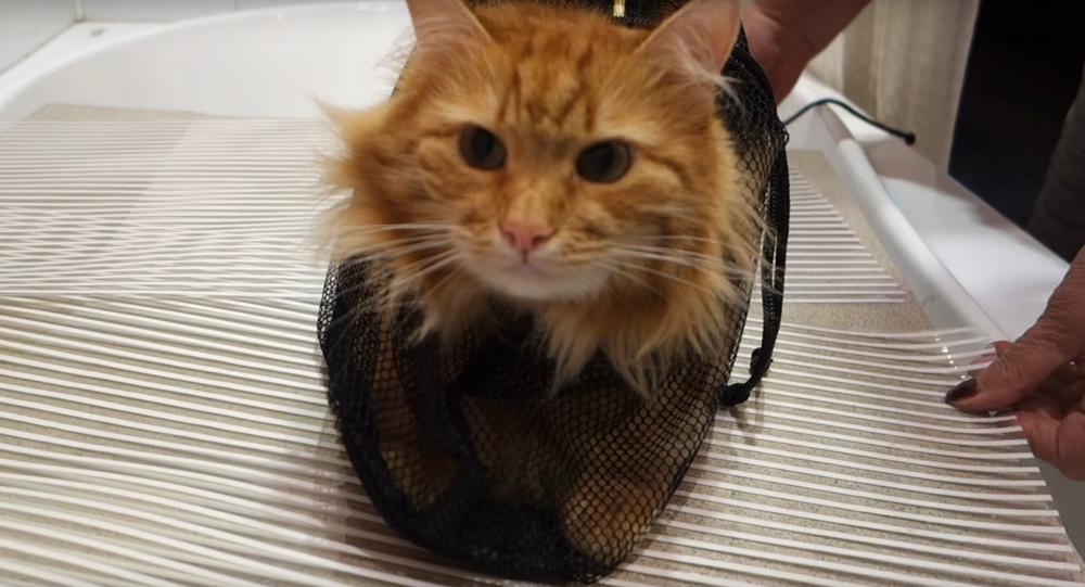 Zrzavá kočka ukazuje kočkoplavky v akci