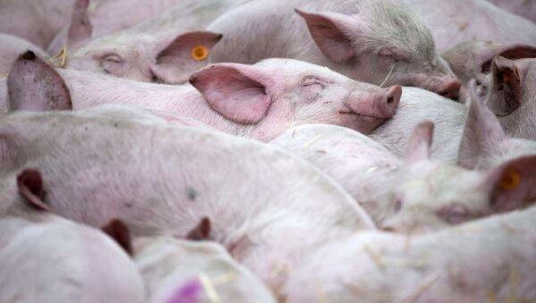 Spící prasata. Ilustrační foto - Sputnik Česká republika