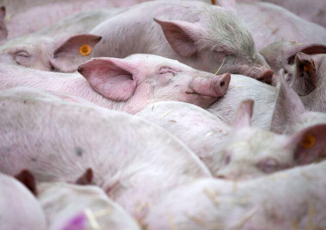 Spící prasata. Ilustrační foto