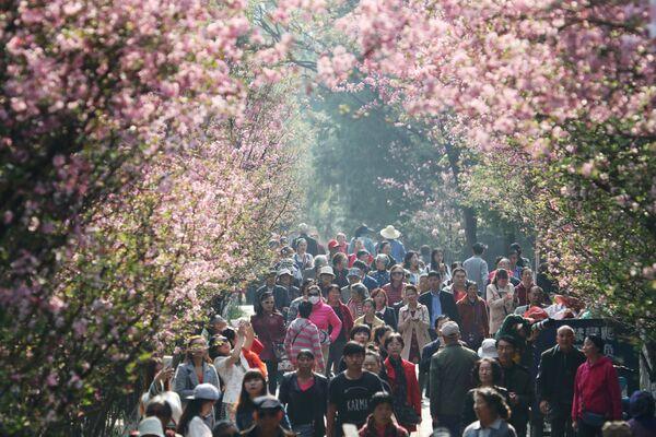Lidé kráčí pod kvetoucí sakurou v městě Kchun-ming, provincie Jün-nan v jihozápadní Číně, 7. března 2018 - Sputnik Česká republika