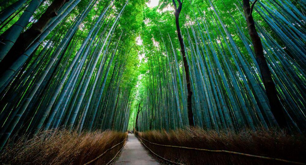 Bambusový les Sagano v Japonsku