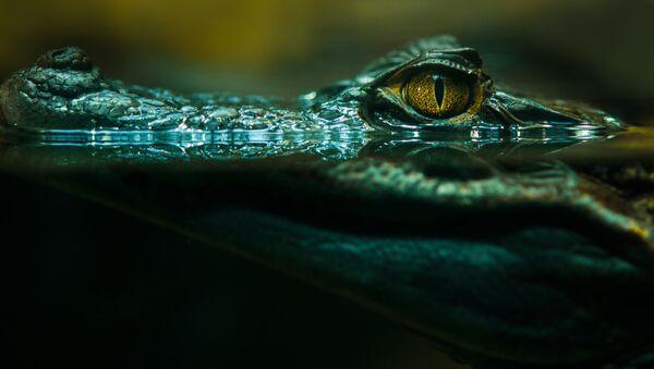 Крокодил в воде - Sputnik Česká republika