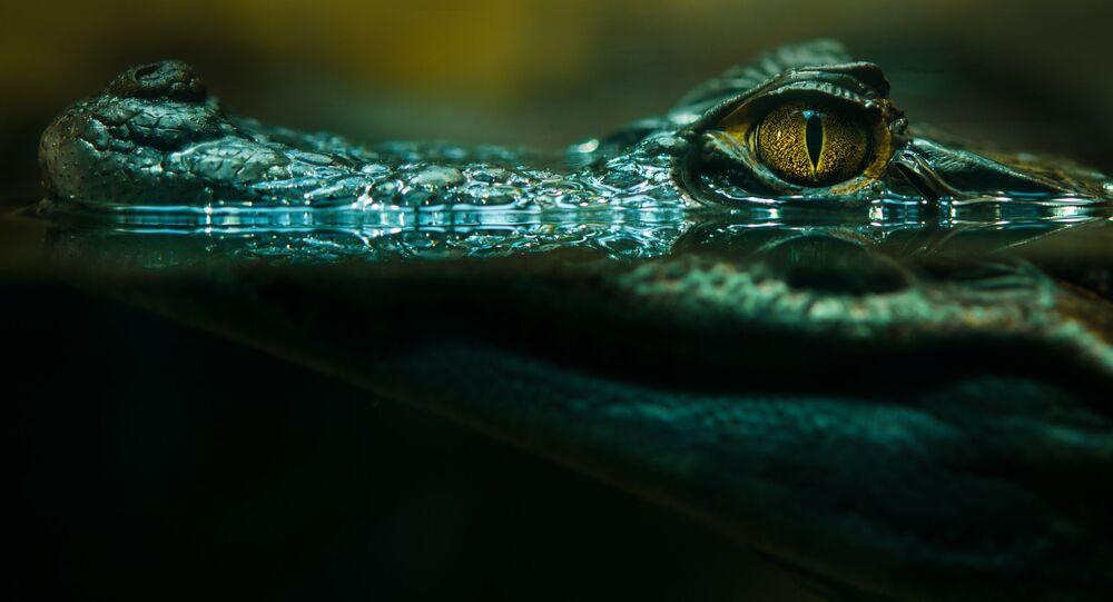 Krokodýl ve vodě