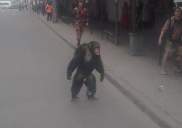 Z cirkusu v Krasnodaru utekla opice