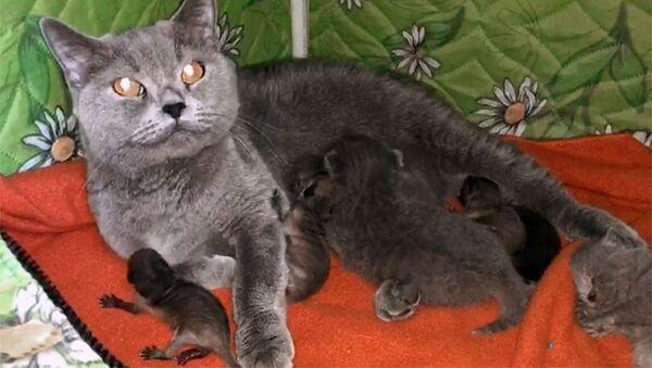 Кошка, временно взявшая на воспитание трех новорожденных енотов в зоопарке Садгород - Sputnik Česká republika