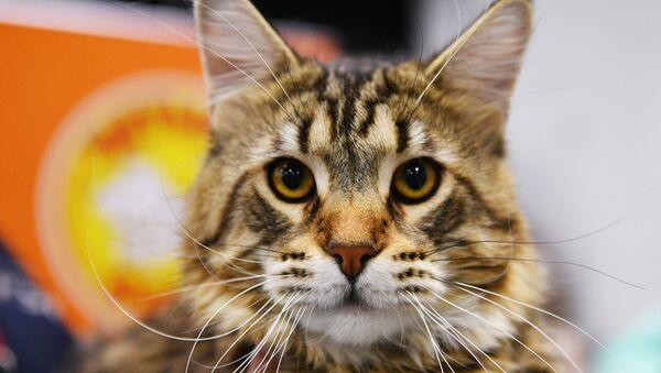 Mainská mývalí kočka - Sputnik Česká republika