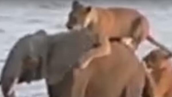 Tři proti jednomu: boj slůněte se smečkou lvů byl natočen na video - Sputnik Česká republika
