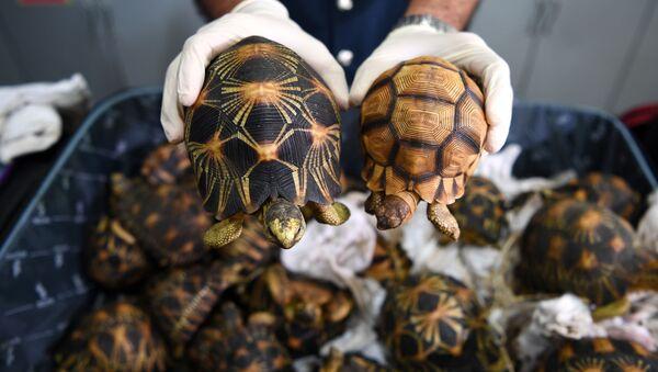 Celník v Malajsii ukazuje želvy paprsčité zabavené pašerákům - Sputnik Česká republika