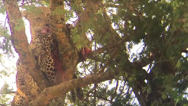 Turista si všiml leoparda, který něco žral, a zděsil se (VIDEO) - Sputnik Česká republika