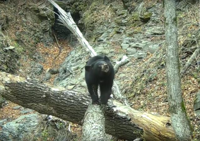 Využití vašeho nejlepšího drápku: medvěd pomáhá upravit kameru v národním parku
