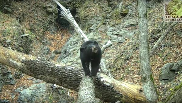 Využití vašeho nejlepšího drápku: medvěd pomáhá upravit kameru v národním parku - Sputnik Česká republika