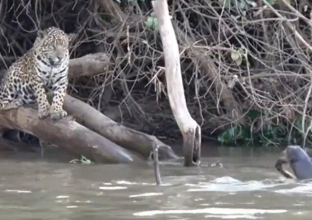 Obří vydra zvítězila nad dvěma hladovými jaguáry