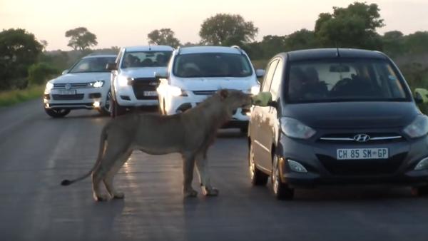 V Jihoafrické republice lvice vyděsila turisty tím, že se rozhodla otevřít dveře jejich auta - Sputnik Česká republika