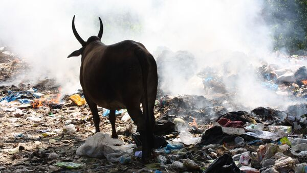 Kráva. Ilustrační foto - Sputnik Česká republika