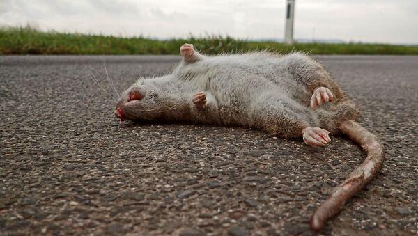 Mrtvá krysa ilustrační foto - Sputnik Česká republika