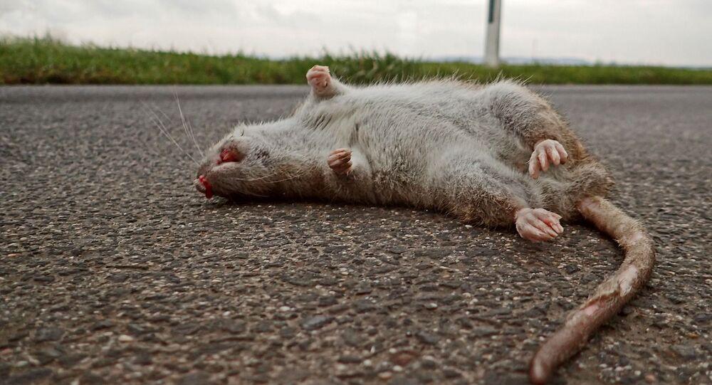 Mrtvá krysa ilustrační foto