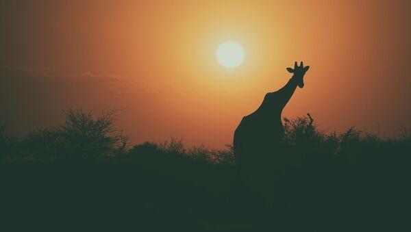 Žirafa při západu slunce - Sputnik Česká republika