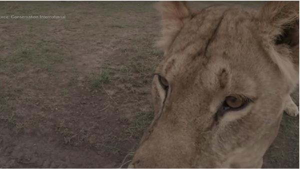 Sama sobě režisérka. V Keni lvice filmové skupině ukradla kameru - Sputnik Česká republika