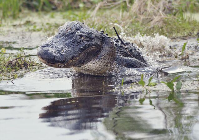aligátor
