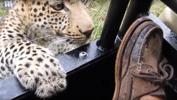 Leopard si hraje s nohou turisty - Sputnik Česká republika