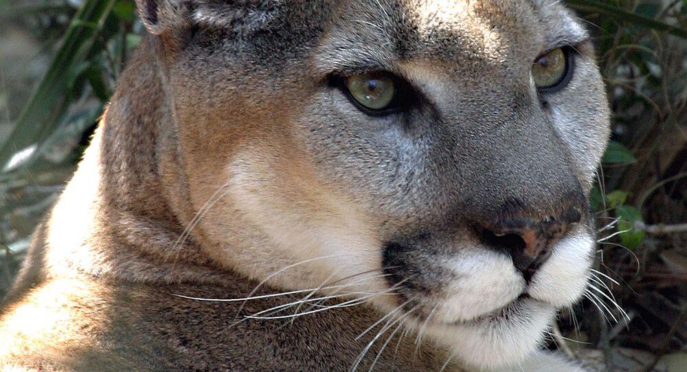Puma ilustrační foto