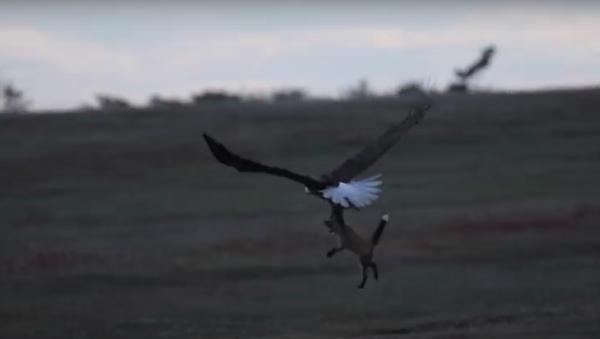 Boj orla a lišky o kořist byl natočen na VIDEO - Sputnik Česká republika