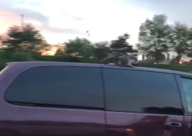V USA se kočka projela na střeše auta