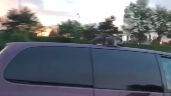 V USA se kočka projela na střeše auta - Sputnik Česká republika