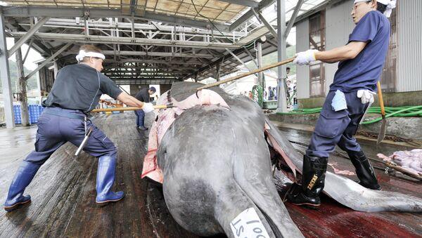 Fishermen slaughter a 10m-long bottlenose whale at the Wada port in Minami-Boso city, Chiba prefecture, east of Tokyo - Sputnik Česká republika