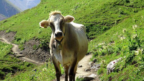 Austrian cow - Sputnik Česká republika