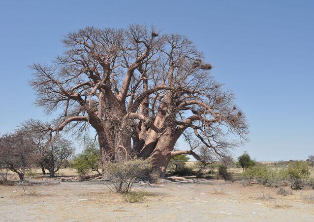 Baobab Chapman