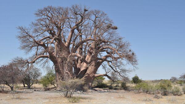 Baobab Chapman - Sputnik Česká republika