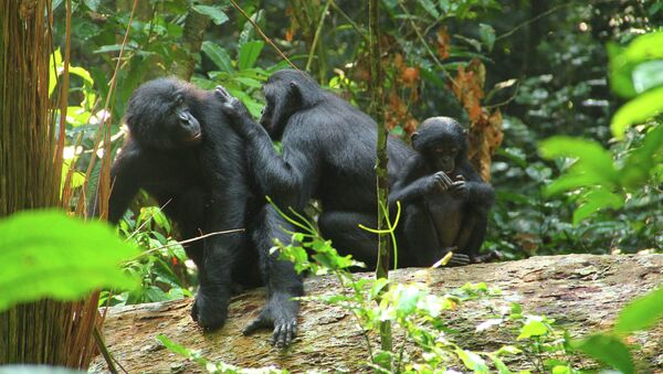 Šimpanze - Sputnik Česká republika