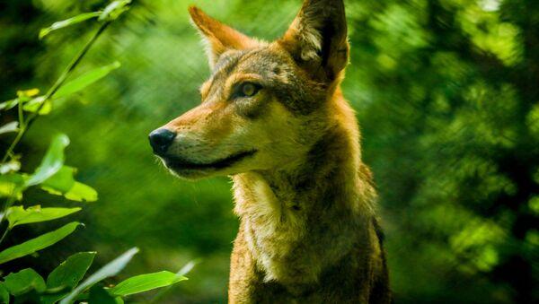 Indický vlk - Sputnik Česká republika