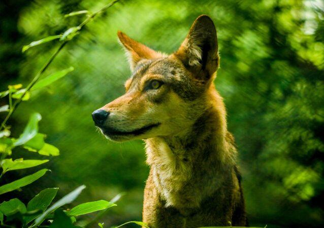 Indický vlk