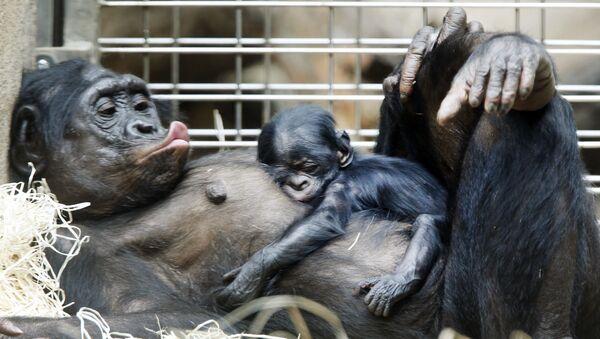 Šimpanzí mládě spí na břiše matky ve frankfurtské zoo. - Sputnik Česká republika