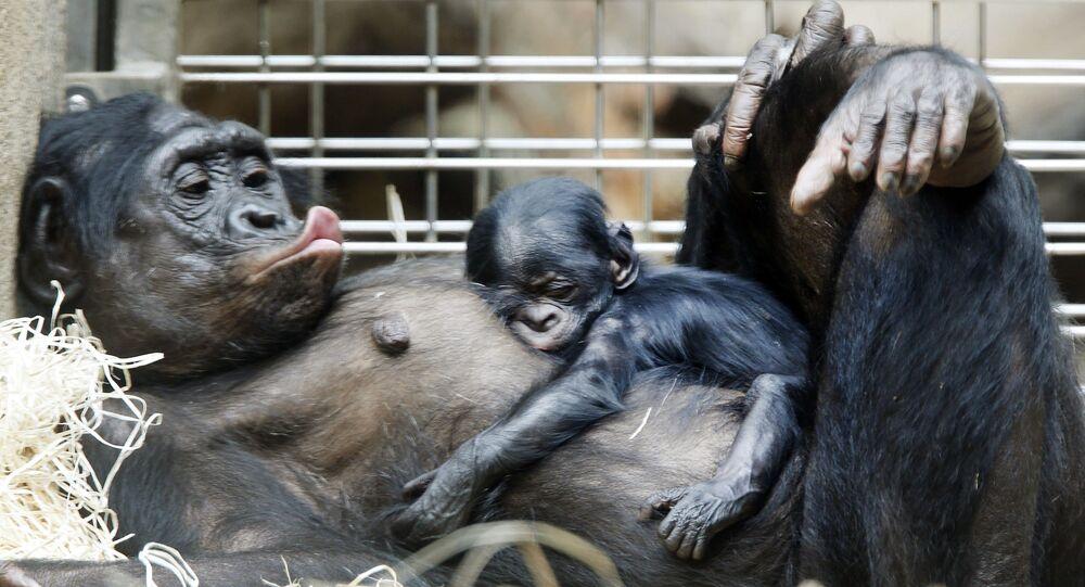Šimpanzí mládě spí na břiše matky ve frankfurtské zoo.