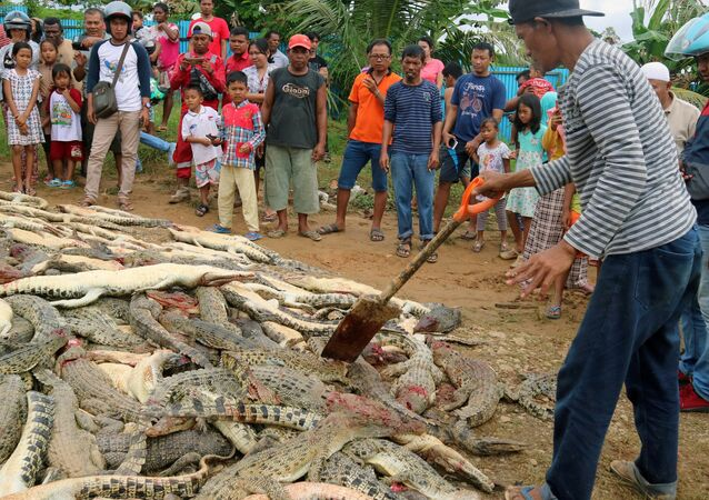 Pozůstatky krokodýlů, které zavraždili Indonésané