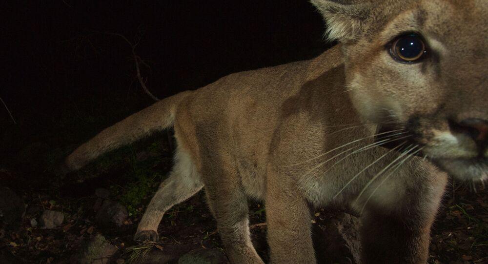 Puma. Ilustrační foto