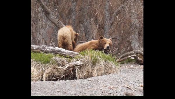 Medvědí péče: Medvědice vychovává čtyři načechrané mláďata na Kamčatce - Sputnik Česká republika