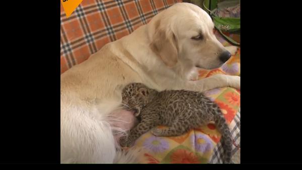 Tohoto leoparda vychovala obyčejná fenka - Sputnik Česká republika