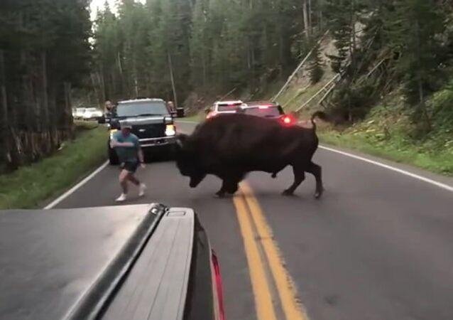 """Američan uspořádal  """"býčí zápasy s bizonem"""