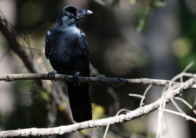 Vrána v parku
