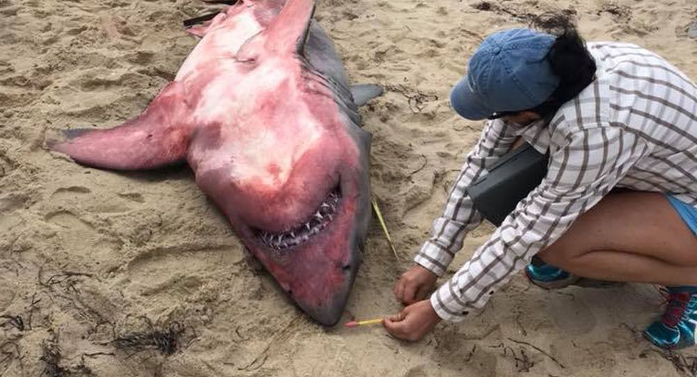 Mrtvého lidožravého žraloka proud vynesl na pláž a jeho vzhled ohromil i vědce