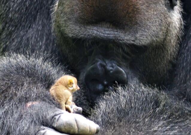 Podívejte se, co tento malý lemur provedl s obrovskou gorilou (VIDEO)